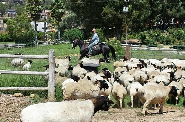 Apricot Lane Farms Sheep