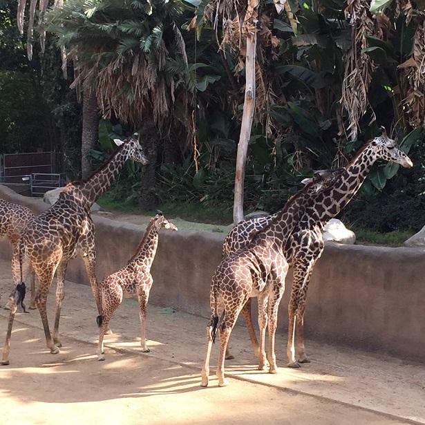 RR_Baby Giraffe