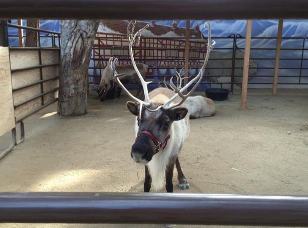 RR_Reindeer