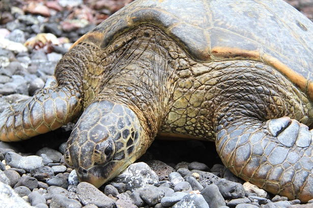 Travels with Gannon and Wyatt-Hawaii_Turtle