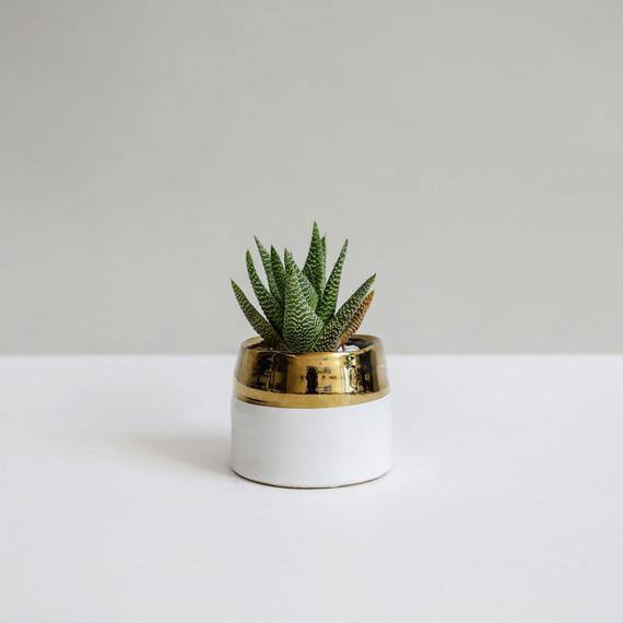 Petaloom Plant Gifts Clara Haworthia