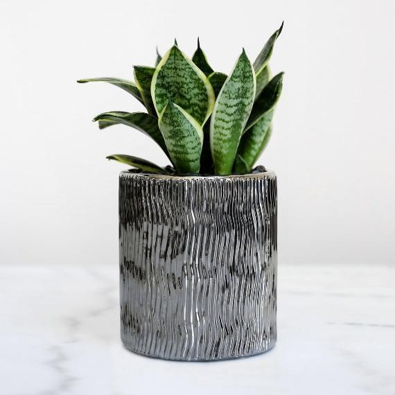 Petaloom Plant Gifts Phoenix Hahnii